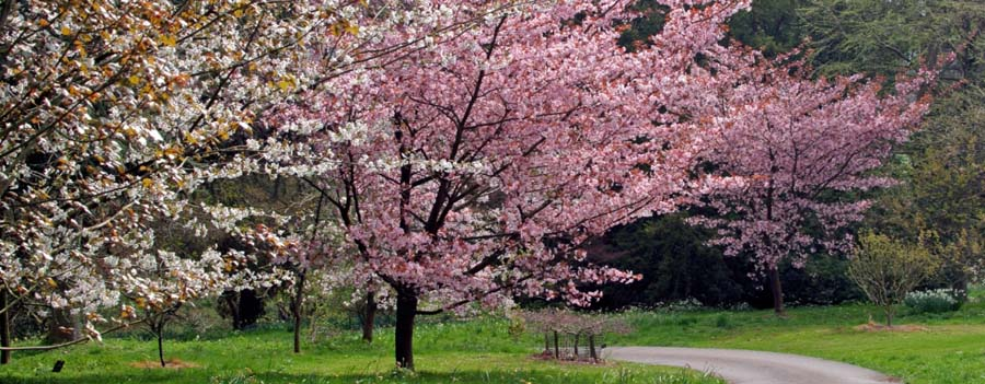 Romantic Japanese cherry blossom trees at Batsford Arboretum
