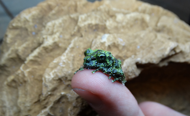 Mossy Froglet at Cotswold Wildlife Park