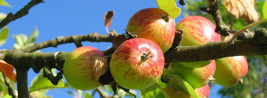 An abundance of autumnal apples in the Cotswolds
