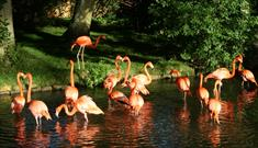 Flamingos at Birdland Park and Gardens